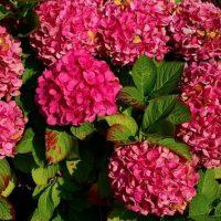 gezonde kamerplanten hortensia