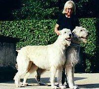 Ierse wolfshond seniorenhond