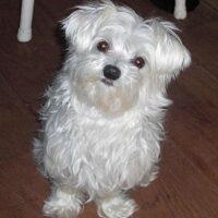 Maltezer hondje voor ouderen