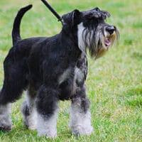 Dwergschnauzer senioren hond